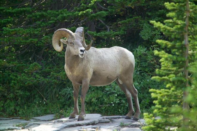 big-horn-sheep-911603_1920.jpg